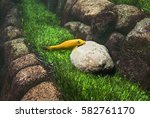 Small photo of Gyrinocheilus aymonieri. Fish mouth stuck to the stone on a background of green grass. Aquarium.
