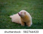 White Ferret Crawling On The...