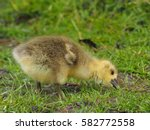 Gosling In A Pasture   Anser...