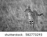 Serval Wild Cat During Dusk