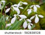 snowdrops  galanthus x files....   Shutterstock . vector #582838528