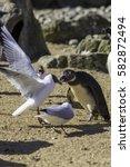 Food Fight. Black Headed Gull ...