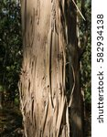 Small photo of eucalyptus tree - gum tree