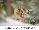 Siberian Tiger From Front View...