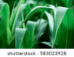 corn field agriculture. green... | Shutterstock . vector #583023928
