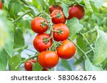 Ripe Red Tomato Growing On ...