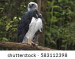 Small photo of Harpy eagle, Harpia harpyja, of the Accipitridae family, the heaviest and one of the world's largest birds of prey, with a wingspan of 2.5 meters