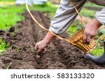 gardener planting garlic in the ... | Shutterstock . vector #583133320