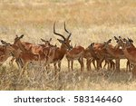 The Herd Of Antelopes From One...