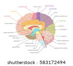 cartoon human brain anatomy in... | Shutterstock .eps vector #583172494