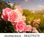 Stock photo colorful pink rose in garden with blue sky and clouds background and gold light in morning 583279273