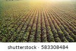 field with grown soy in rows | Shutterstock . vector #583308484