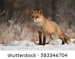 fox in natural habitat | Shutterstock . vector #583346704