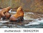 Seals Near Seward  Alaska  Usa