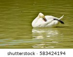 Cool White Goose Floating In...