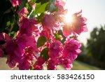 bougainvillea  | Shutterstock . vector #583426150