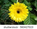 gerbera | Shutterstock . vector #583427023