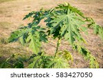 young papaya tree | Shutterstock . vector #583427050
