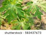 young papaya tree | Shutterstock . vector #583437673
