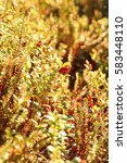 Small photo of Cranberry and Crowberry in the sunlight in the summer