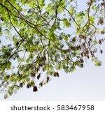 Small photo of Green Acacia mangium bush with pods