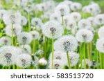 Fluffy Beautiful Dandelions In...