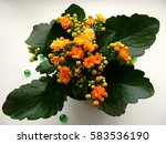 Nice Houseplant Kalanchoe With...