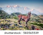 Alpine Ibex  Capra Ibex  On Th...