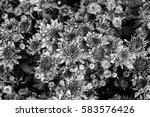 chrysanthemum flower  benjamas  | Shutterstock . vector #583576426