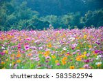Field. Flower Field. Cosmos...
