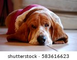 Small photo of Basset hound in red t-shirt laying down in a living room.
