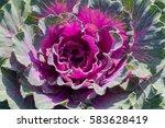 Decorative Garden Cabbage...