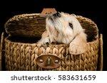 labradoodle puppy in a wicker... | Shutterstock . vector #583631659