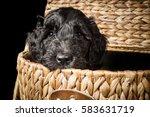 labradoodle puppy in a wicker... | Shutterstock . vector #583631719