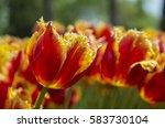 Tulip Closeup.