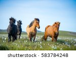 Stock photo icelandic horses the icelandic horse is a breed of horse developed in iceland although the horses 583784248
