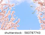 Cherry Blossoms In Full Bloom ...