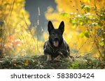 Dog Lie In Autumn Forest. The...