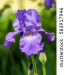 Lilac Iris In The Garden