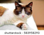 snowshoe cat portrait at home   Shutterstock . vector #583958293
