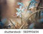 Early Spring Blue Scilla ...