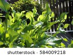 Morning Garden. Hosta   Funkia...