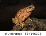 Giant River Toad  Phrynoidis...