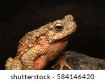 Close Up Of A Giant River Toad...