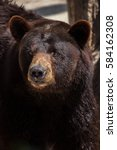 Small photo of American black bear (Ursus americanus).