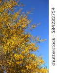 Small photo of Acacia floribunda (Gossamer Wattle)