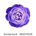 Stock photo violet rose flower white isolated background with clipping path nature closeup no shadows 584274229