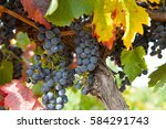 vineyards from the barossa... | Shutterstock . vector #584291743