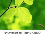 leaves of fresh green. leaves... | Shutterstock . vector #584372800
