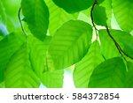 leaves of fresh green. leaves... | Shutterstock . vector #584372854